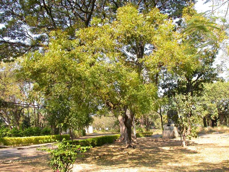 albero di neem olio